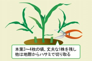 芽が生長したらあまり育ちそうにない株を間引く必要があります
